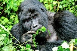 Gorilla Trekking in Uganda (5 Tage)