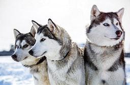 Hundeschlitten-Urlaub in Schweden