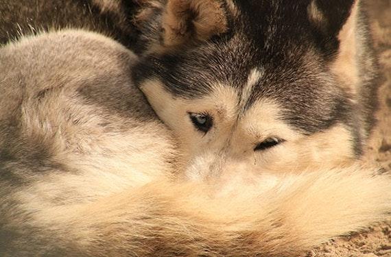 Husky-Abenteuer in der Abenddämmerung für 2