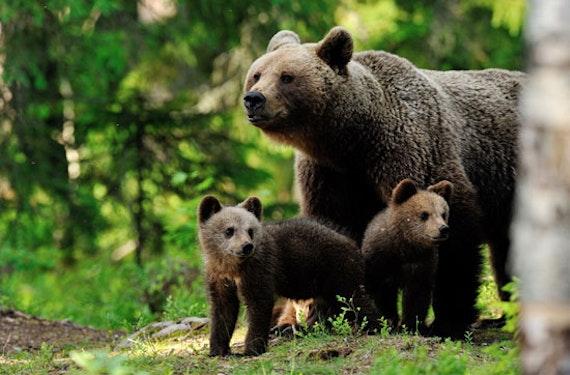 Kurzurlaub mit Elch- und Bären-Safari in Finnland für 2