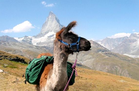 Lama-Trekking zum Riedgletscher