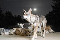 Wolfshunde Vollmondwanderung in Büren (3 Stunden)